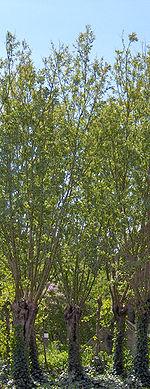 150px-Salix_alba(01)